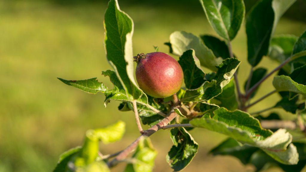 Ein junger Apfel